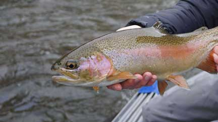 Rainbow trout held by an angler on the Roaring Fork River near Glenwood Springs, CO.