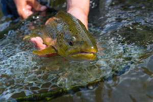Vail Valley Anglers Guided Fly Fishing Private Water Trips in Vail, Colorado.